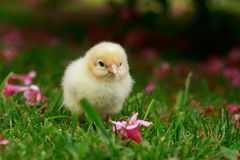 Το λίγο κοτόπουλο Στοκ Εικόνα