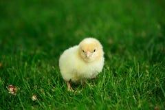 Το λίγο κοτόπουλο Στοκ Φωτογραφία