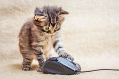 Το λίγο ριγωτό γατάκι παίζεται με ένα ποντίκι υπολογιστών Μια ικανότητα Στοκ φωτογραφίες με δικαίωμα ελεύθερης χρήσης