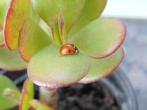 Το λίγο ladybug σε εγκαταστάσεις Στοκ Φωτογραφία
