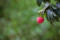 Το λίτσι φρούτων Στοκ Φωτογραφίες