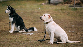 Το Λαμπραντόρ και τα γεροδεμένα σκυλιά κάθονται στο έδαφος κατά τη διάρκεια Στοκ φωτογραφίες με δικαίωμα ελεύθερης χρήσης