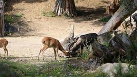 Το λατινικό phillipsi pygargus Damaliscus ονόματος blesbuck συναντιέται με επικεφαλής Νέα αρσενικό και θηλυκό του blesbuck που ζο απόθεμα βίντεο