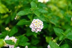 Το λευκό το ανθίζει όμορφο στο υπαίθριο πάρκο στοκ φωτογραφία με δικαίωμα ελεύθερης χρήσης