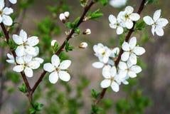 Το λευκό ανθών της Apple μια ημέρα άνοιξη στον κήπο, το υπόβαθρο είναι θολωμένο Στοκ Εικόνες
