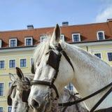 Το λευκό εκμεταλλεύτηκε σε ένα άλογο λουριών δέρματος στην οδό ενός ο Στοκ Φωτογραφία