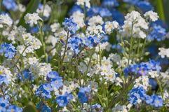 Το λευκό και το μπλε με ξεχνούν nots λουλούδια Στοκ εικόνες με δικαίωμα ελεύθερης χρήσης