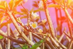 Το λευκό και το νερό λουλουδιών Plumeria ρίχνουν όμορφο στα κοινά pocynaceae ονόματος δέντρων, Frangipani, δέντρο παγοδών, δέντρο Στοκ εικόνα με δικαίωμα ελεύθερης χρήσης