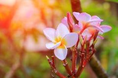 Το λευκό και το νερό λουλουδιών Plumeria ρίχνουν όμορφο στα κοινά pocynaceae ονόματος δέντρων, Frangipani, δέντρο παγοδών, δέντρο Στοκ εικόνες με δικαίωμα ελεύθερης χρήσης