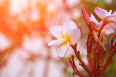 Το λευκό και το νερό λουλουδιών Plumeria ρίχνουν όμορφο στα κοινά pocynaceae ονόματος δέντρων, Frangipani, δέντρο παγοδών, δέντρο Στοκ Φωτογραφίες