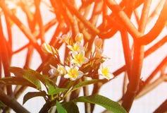 Το λευκό και το νερό λουλουδιών Plumeria ρίχνουν όμορφο στα κοινά pocynaceae ονόματος δέντρων, Frangipani, δέντρο παγοδών, δέντρο Στοκ Εικόνα