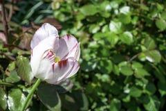 Το λευκό με την κόκκινη τουλίπα φλεβών που ανθίζει σε έναν κήπο αντιγράφει την άνοιξη το διάστημα στοκ φωτογραφίες
