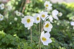 Το λευκό σαν το χιόνι χρώμα sylvestris Anemone κάλεσε επίσης snowdrop το anemone, αιώνια ανθίζοντας δέσμη των φυτών στο φως της η Στοκ Φωτογραφία