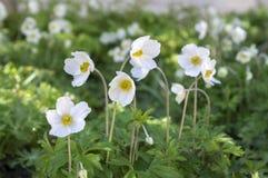 Το λευκό σαν το χιόνι χρώμα sylvestris Anemone κάλεσε επίσης snowdrop το anemone, αιώνια ανθίζοντας δέσμη των φυτών στο φως της η Στοκ φωτογραφία με δικαίωμα ελεύθερης χρήσης