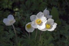 Το λευκό σαν το χιόνι χρώμα sylvestris Anemone κάλεσε επίσης snowdrop το anemone, αιώνια ανθίζοντας δέσμη των φυτών στο φως της η Στοκ φωτογραφίες με δικαίωμα ελεύθερης χρήσης