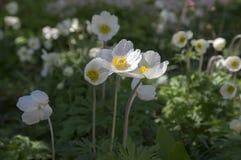 Το λευκό σαν το χιόνι χρώμα sylvestris Anemone κάλεσε επίσης snowdrop το anemone, αιώνια ανθίζοντας δέσμη των φυτών στο φως της η Στοκ Εικόνα