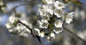 Το λευκό των λουλουδιών άνοιξη Στοκ εικόνα με δικαίωμα ελεύθερης χρήσης
