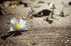 Το λευκό Plumeria αφόρησε το δρόμο με το θερμό φως πρωινού Στοκ Εικόνα