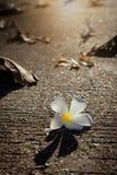 Το λευκό Plumeria αφόρησε το δρόμο με το θερμό φως πρωινού Στοκ φωτογραφίες με δικαίωμα ελεύθερης χρήσης