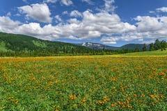 Το λιβάδι βουνών ανθίζει το πορτοκαλί καλοκαίρι Στοκ Φωτογραφία