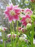 Το λιβάδι επαρχίας του Κεντ φυτεύει τις μαργαρίτες τριαντάφυλλων λουλουδιών στοκ εικόνα