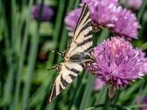 Το λιγοστό podalirius Iphiclides swallowtail πεταλούδων κάθεται επάνω Στοκ φωτογραφία με δικαίωμα ελεύθερης χρήσης