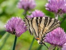 Το λιγοστό podalirius Iphiclides swallowtail πεταλούδων κάθεται επάνω Στοκ φωτογραφίες με δικαίωμα ελεύθερης χρήσης