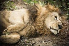 Το λιοντάρι βασιλιάδων στοκ εικόνα με δικαίωμα ελεύθερης χρήσης
