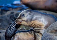Το λιοντάρι θάλασσας μωρών χρησιμοποιώντας το βατραχοπέδιλό του για να γρατσουνίσει φαγουρίζει Στοκ Εικόνες