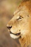 το λιοντάρι κοιτάζει επίμ&o Στοκ φωτογραφία με δικαίωμα ελεύθερης χρήσης