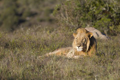 το λιοντάρι λιβαδιών χαλ&alp Στοκ φωτογραφία με δικαίωμα ελεύθερης χρήσης