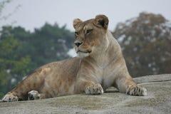 Το λιοντάρι χαλαρώνει Στοκ φωτογραφίες με δικαίωμα ελεύθερης χρήσης