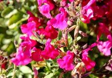 το λογικό ροζ μωρών κοκκινίζει, το ροζ microphylla ` Salvia κοκκινίζει ` Στοκ φωτογραφία με δικαίωμα ελεύθερης χρήσης