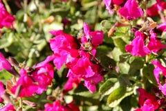 το λογικό ροζ μωρών κοκκινίζει, το ροζ microphylla ` Salvia κοκκινίζει ` Στοκ φωτογραφίες με δικαίωμα ελεύθερης χρήσης
