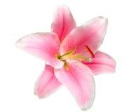 το λουλούδι ανασκόπησης απομόνωσε το λευκό Στοκ Εικόνες