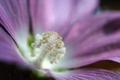 το λουλούδι ανθίζει ρόδινο μαλακό Στοκ φωτογραφία με δικαίωμα ελεύθερης χρήσης