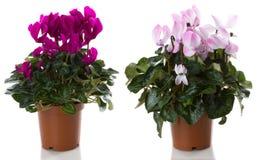 το λουλούδι ανθίζει potrd Στοκ φωτογραφία με δικαίωμα ελεύθερης χρήσης