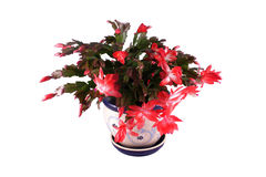 το λουλούδι απομόνωσε &tau Στοκ Φωτογραφία