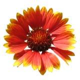 το λουλούδι απομόνωσε &tau Στοκ Εικόνες