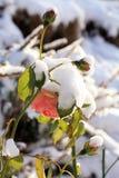 Το λουλούδι αυξήθηκε κάτω από το χιόνι Στοκ Φωτογραφία