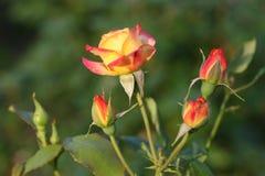 το λουλούδι αυξήθηκε Στοκ εικόνα με δικαίωμα ελεύθερης χρήσης