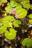 το λουλούδι γεμίζει lilly τ&et Στοκ Φωτογραφία
