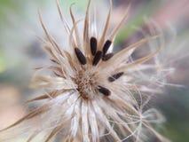 Το λουλούδι διαρκεί τους σπόρους Στοκ Εικόνα
