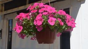 Το λουλούδι δοχείων καλλιεργητών ταλαντεύει στον αέρα απόθεμα βίντεο