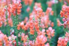το λουλούδι δράκων majus Antirrhinum στην άνθιση στον κήπο Στοκ Εικόνα