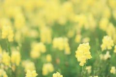 το λουλούδι δράκων majus Antirrhinum στην άνθιση στον κήπο Στοκ Εικόνες