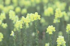 το λουλούδι δράκων majus Antirrhinum στην άνθιση στον κήπο Στοκ εικόνες με δικαίωμα ελεύθερης χρήσης