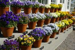 το λουλούδι εμφανίζει Στοκ Φωτογραφίες