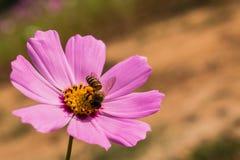 Το λουλούδι και η μέλισσα Στοκ φωτογραφίες με δικαίωμα ελεύθερης χρήσης