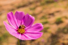 Το λουλούδι και η μέλισσα Στοκ Εικόνες